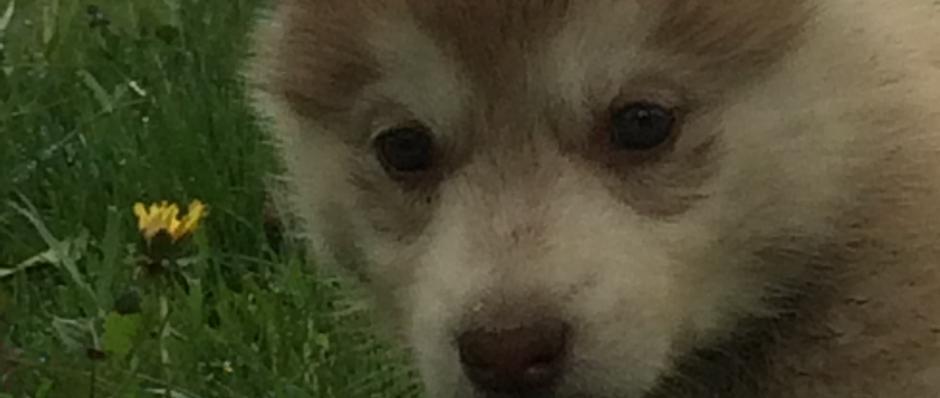 chiot husky, chiens de traineau franche comte jura, élevage de husky, les nordiques de la ferme sur la roche, Belleherbe, chiens polaires