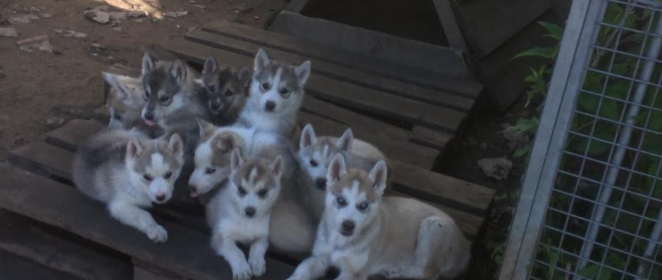 husky sibérien, élevage Belleherbe, chiots husky sibérien
