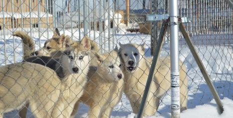 femelles huskys sibériens, Les nordiques de la ferme sur la roche, chiens de traineau franche comté