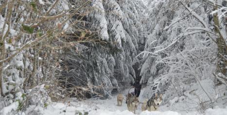 Retour de balade en chien de traîneau à Belleherbe (Doubs-Franche Comté)