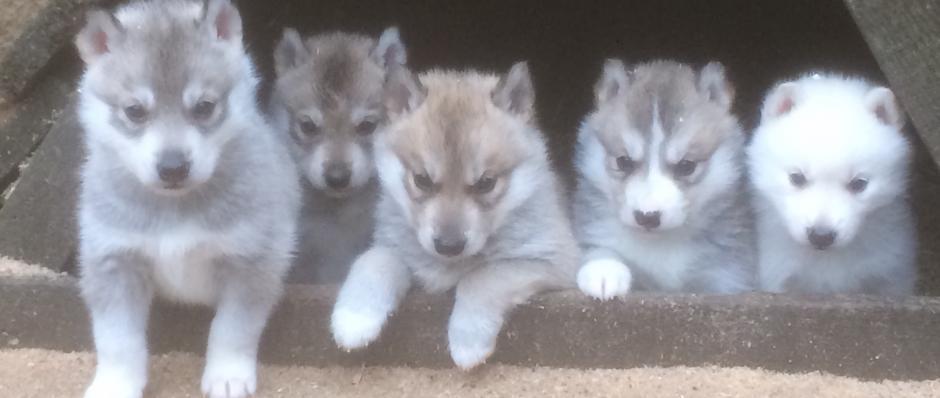 chiens  husky sibérien, élevage Belleherbe, élevage husky sibérien, chiot husky sibérien Doubs
