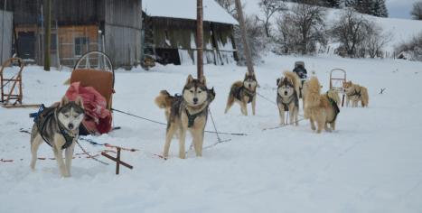 chiens de traineau Les Nordiques de la ferme sur la Roche