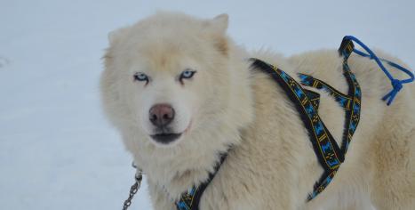 husky sibérien chien de traineau Les Nordiques de la Ferme sur la Roche