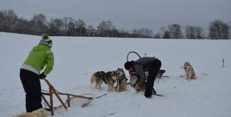préparation à l'attelage des chiens de traineau pour des balades