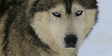 chien de traineau husky Les nordiques de la Ferme sur la Roche